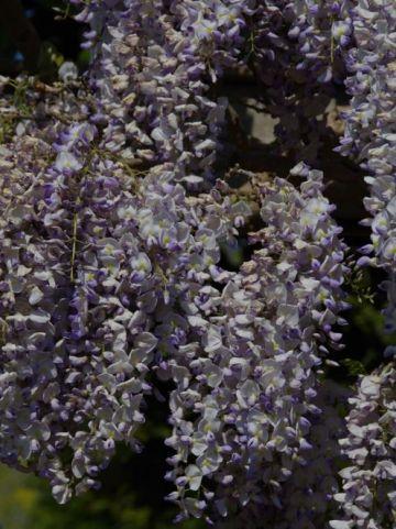Wisteria × formosa 'Caroline' - Blauwe regen