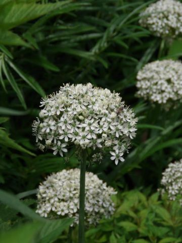 Allium nigrum  - Zwarte look