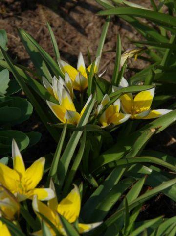 Tulipa tarda  - Wilde tulp