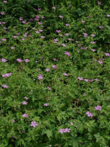 Geranium oxonianum 'Claridge Druce' - Ooievaarsbek