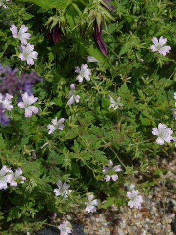 Geranium × oxonianum 'Katherine Adele' - Ooievaarsbek