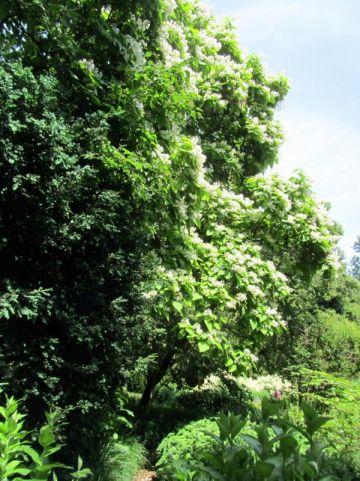 Catalpa speciosa  - Grootbloemige trompetboom