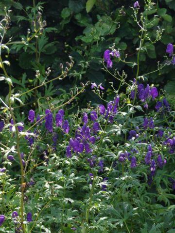 Aconitum henryi 'Spark's Variety' - Monnikskap