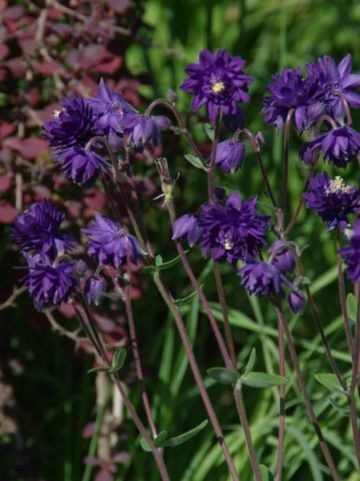 Aquilegia vulgaris 'Blue Barlow' - Zwarte akelei