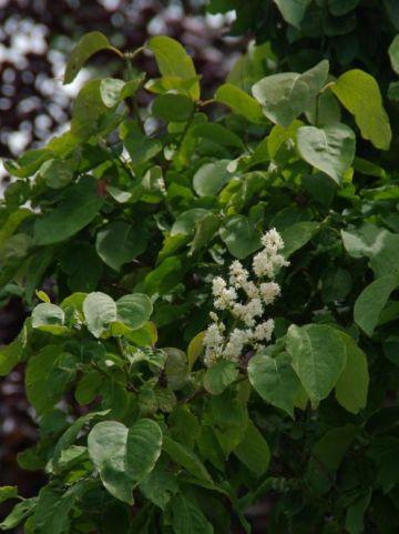 Syringa reticulata 'Ivory Silk' - Sering