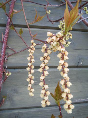 Stachyurus chinensis 'Celina' - Staartaar