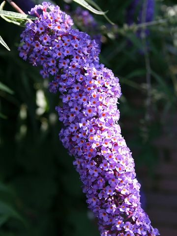 Buddleja davidii 'Empire Blue' - Vlinderstruik