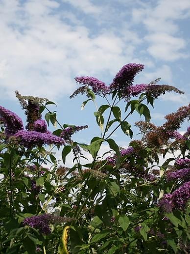 Buddleja davidii 'Purple Rain' - Vlinderstruik