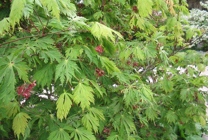 Acer japonicum 'Aconitifolium' (Japanse esdoorn)