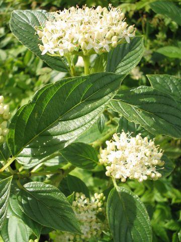 Cornus stolonifera 'Flaviramea' - Kornoelje
