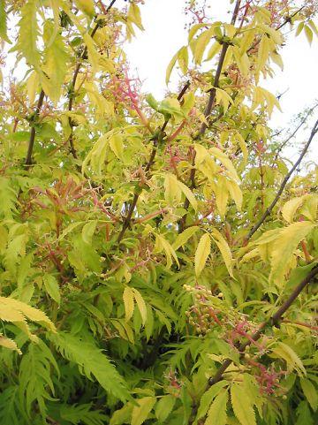 Sambucus racemosa 'Plumosa Aurea' - Trosvlier