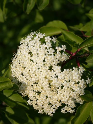 Viburnum cassinoides - Sneeuwbal