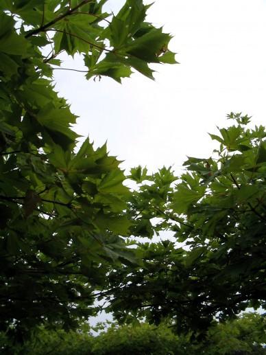Acer platanoides 'Palmatifidum' - Noorse esdoorn (dakvorm)
