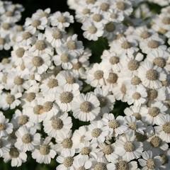 Achillea ptarmica 'Major' - Duizendblad