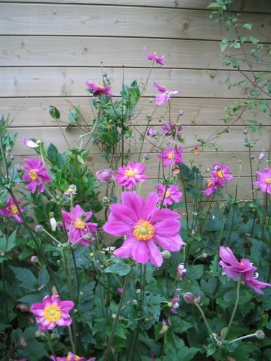 Anemone 'Splendens' - Herfstanemoon