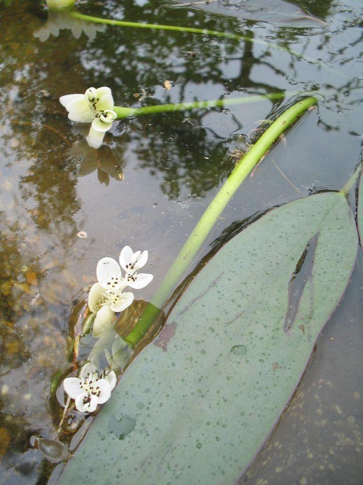 Aponogeton distachyos - Kaapse waterlelie, wateraar