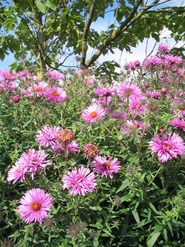 Aster novae-angliae 'Barr's Pink - Herfstaster