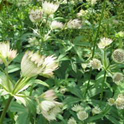 Astrantia bavarica - Zeeuws knoopje