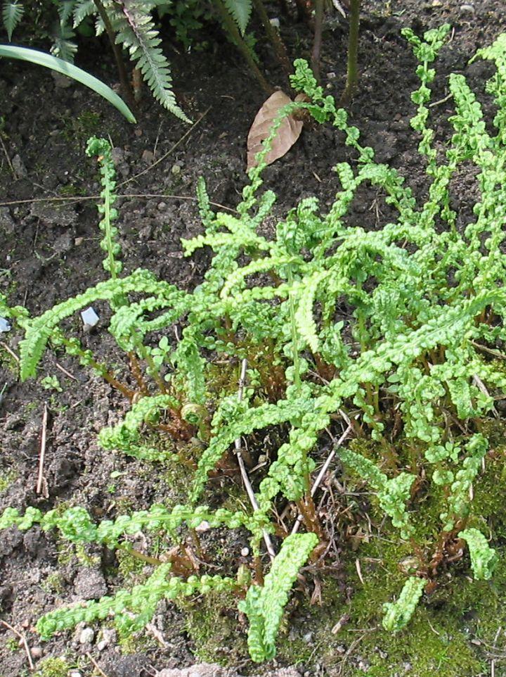 Athyrium filix-femina 'Frizelliae' - Wijfjesvaren