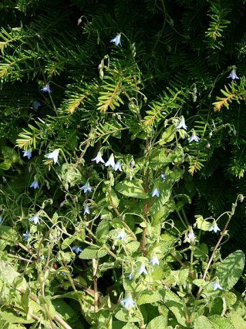 Borago pygmaea - Komkommerkruid, bernagie