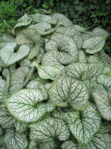 Brunnera macrophylla 'Jack Frost' - Kaukasisch Vergeet-mij-nietje