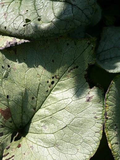 Brunnera macrophylla 'Looking Glass' - Kaukasisch Vergeet-mij-nietje