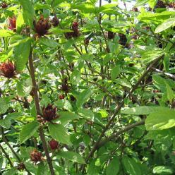 Calycanthus floridus 'Purpureus' - Specerijstruik