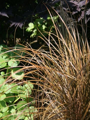 Carex comans 'Bronze Form' - Zegge