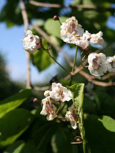 Catalpa bignoniodes - Trompetboom