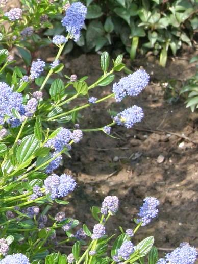 Ceanothus impressus 'Victoria' - Amerikaanse sering