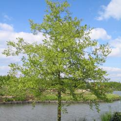 Celtis occidentalis - Zwepenboom