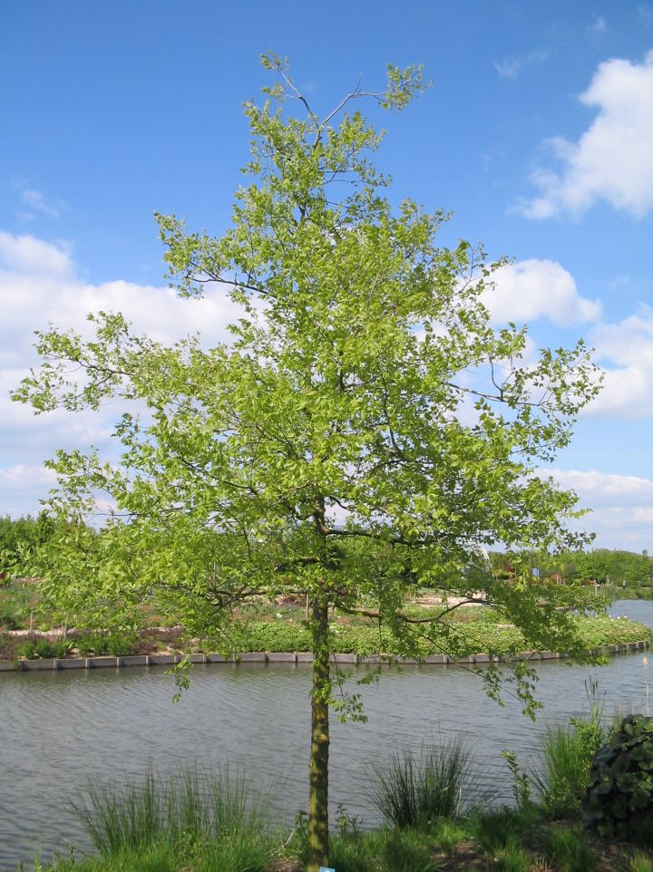 Celtis occidentalis - Zwepenboom
