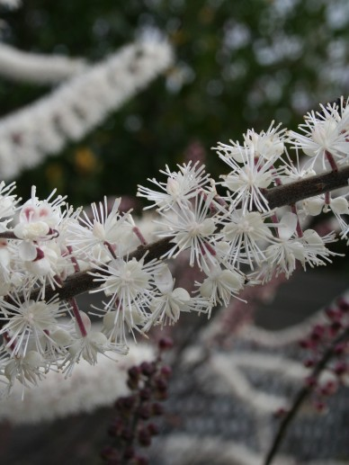 Cimicifuga ramosa 'Atropurpurea' - (Donkerbladige) Zilverkaars