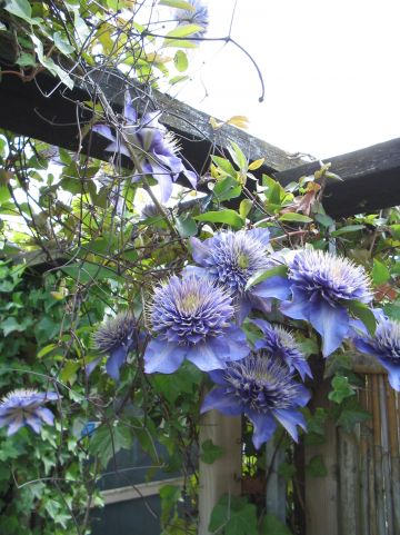 Clematis 'Multi Blue' - Bosdruif, bosrank