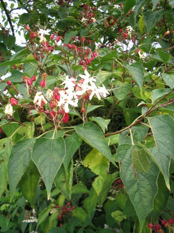 Clerodendrum trichotomum - Kansenboom, pindakaasboom