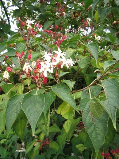 Clerodendrum trichotomum - Kansenboom, pindakaasboom