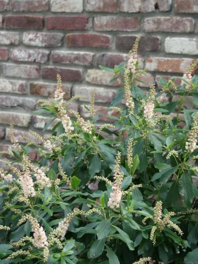 Clethra alnifolia 'Pink Spire' - Schijnels