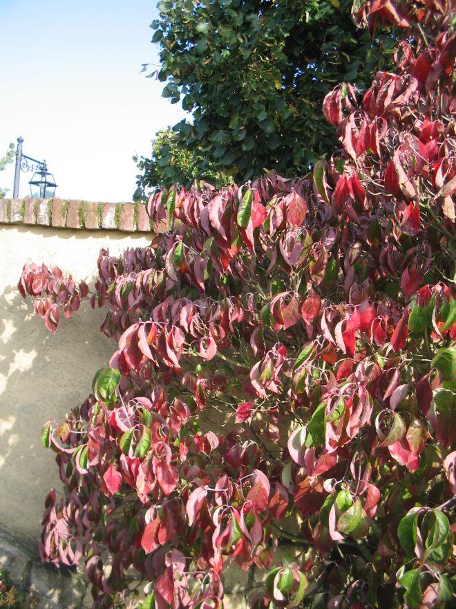 Cornus florida 39 rainbow 39 amerikaanse kornoelje of - Cornus florida rainbow ...