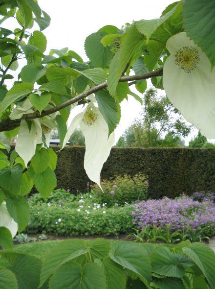 Davidia involucrata 'Vilmoriniana' (Vaantjesboom, zakdoekenboom, luierboom)