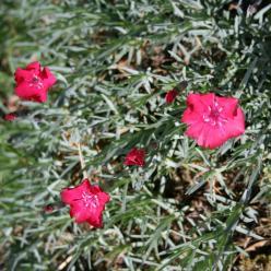 Dianthus 'Badenia' - Steenanjer
