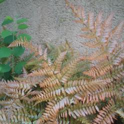 Dryopteris erythrosora - Rode sluiervaren