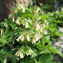 Symphytum grandiflorum - Smeerwortel