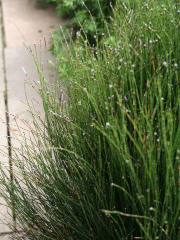 Equisetum scirpoides - Dwergholpijp