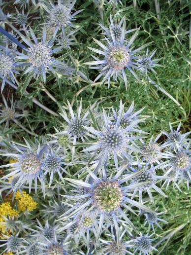 Eryngium bourgatii - Blauwe distel, kruisdistel