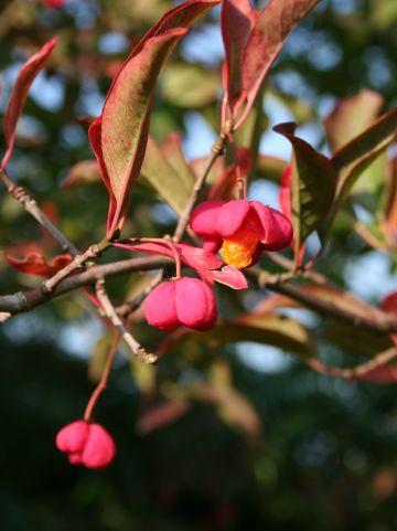 Euonymus europaeus - Gewone kardinaalshoed, kardinaalsmuts