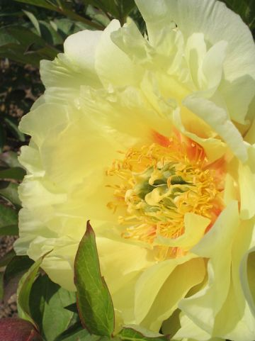 Paeonia 'Shining Light' - Pioenroos