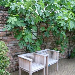 Ficus carica - Vijg