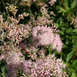 Filipendula palmata 'Nana' - Moerasspirea