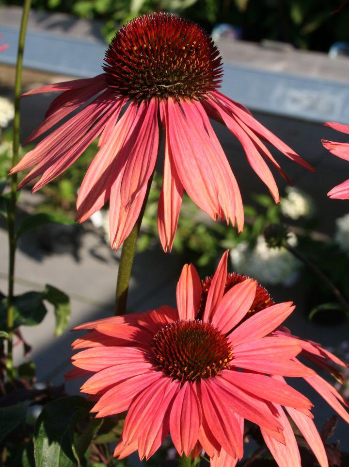Echinacea purpurea 'Sunset' - Zonnehoed