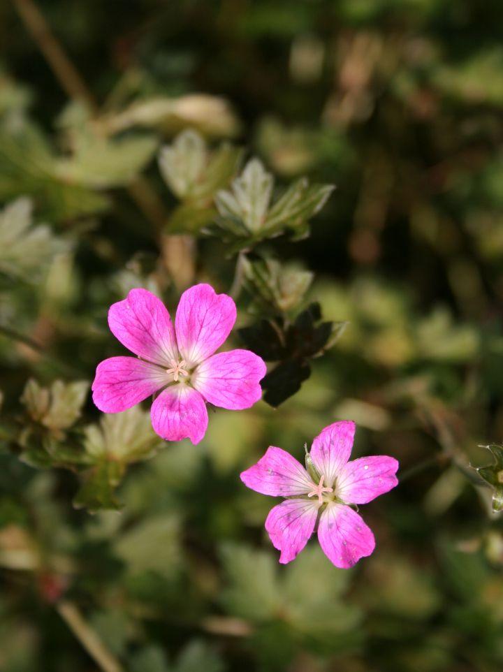 Geranium 'Orkney Pink' - Ooievaarsbek